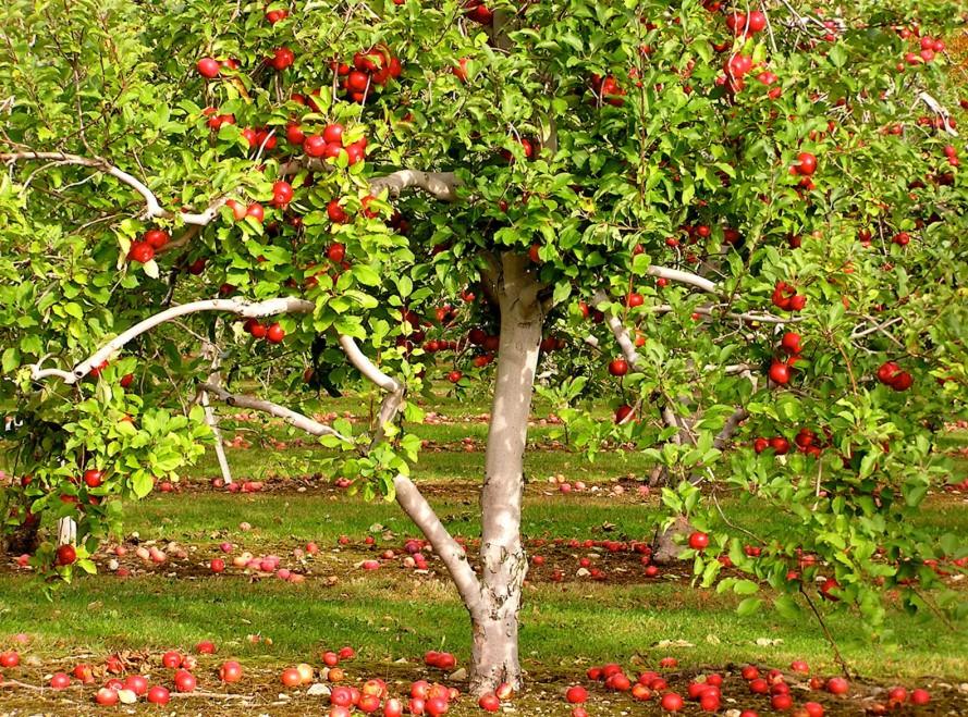 Cây táo và cây lựu đông con nhiều cháu
