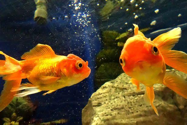 Nuôi cá vàng làm cảnh rất phổ biến