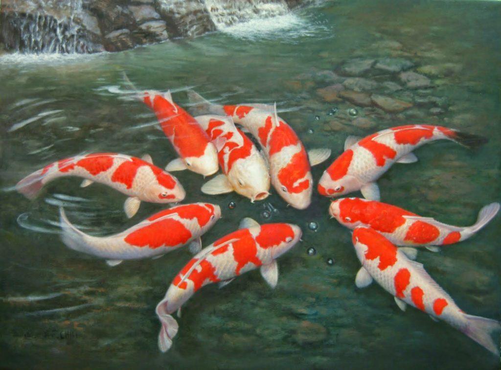 Nuôi cá Koi lai giá thành rẻ hơn