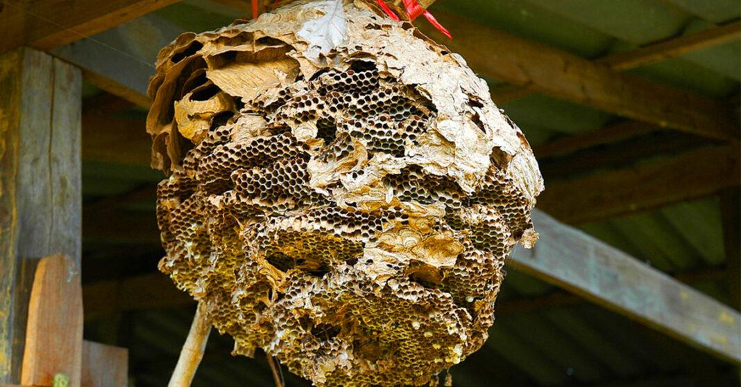 ong ruồi làm tổ trong nhà tốt hay xấu