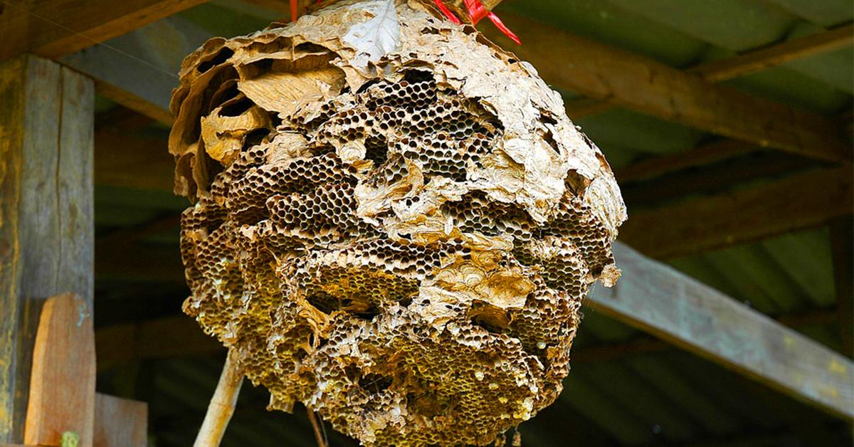 Ong làm tổ trong nhà có sao không? - Phongthuynhaxinh.net